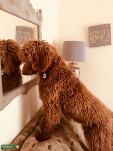 AKC Red Standard Poodle Listing Image
