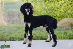 AKC Standard Poodle, Phantom carries Parti Listing Image