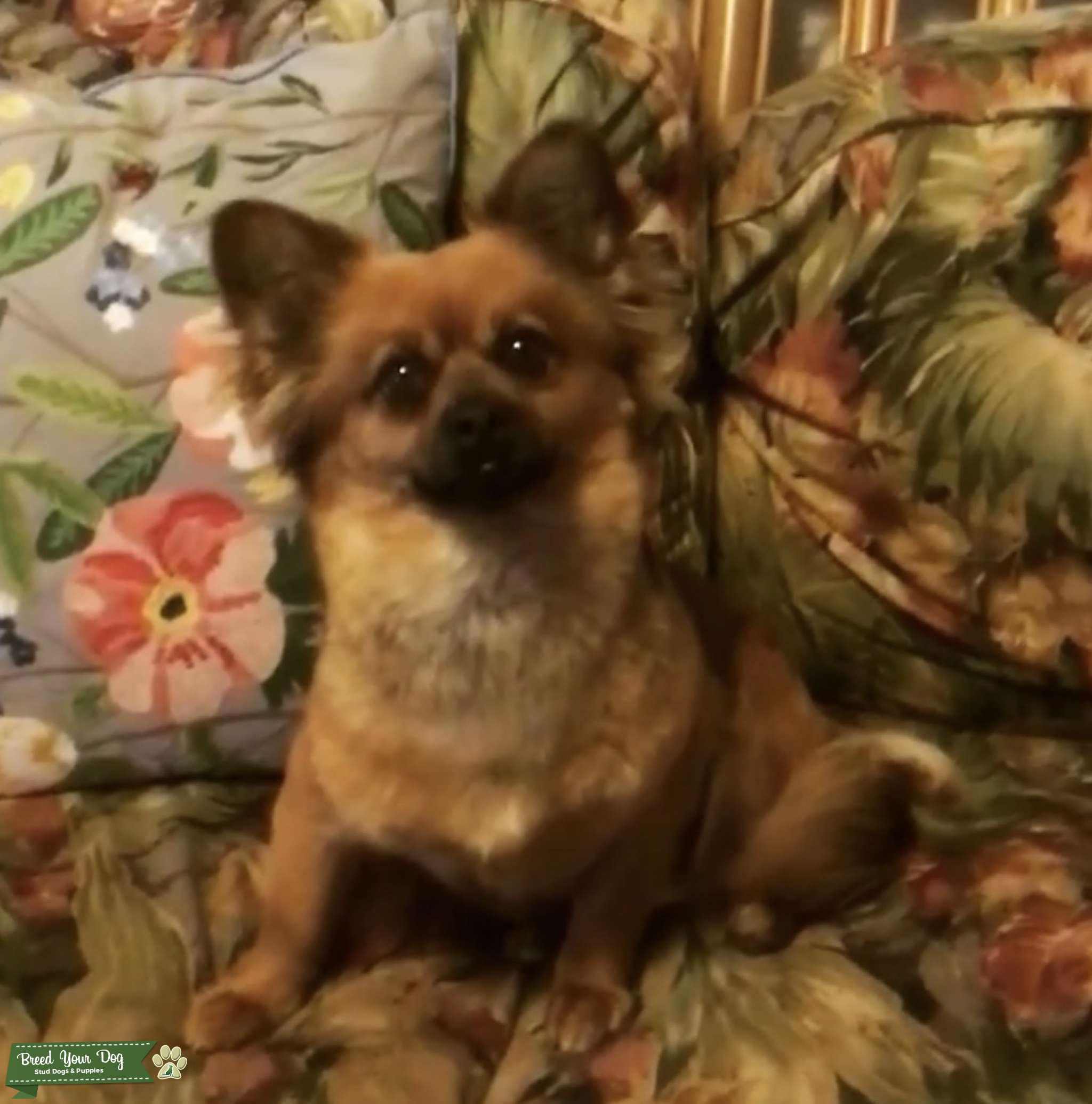 German spitz  PomChi  Listing Image Big