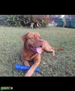 Dogue De Bordeaux Stud Listing Image