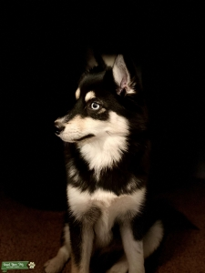 Available Stud Pomsky for Breeding Listing Image