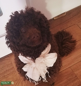 Mini Poodle Male Brown  Listing Image