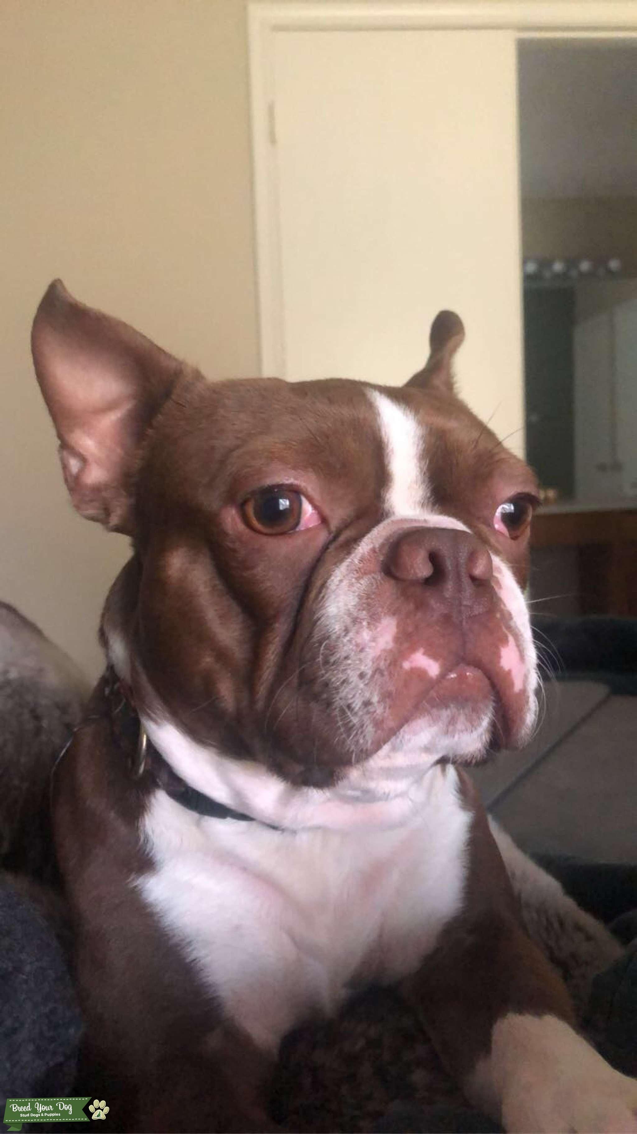 Chocolate Boston Terrier Listing Image Big