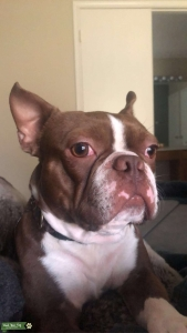 Chocolate Boston Terrier Listing Image