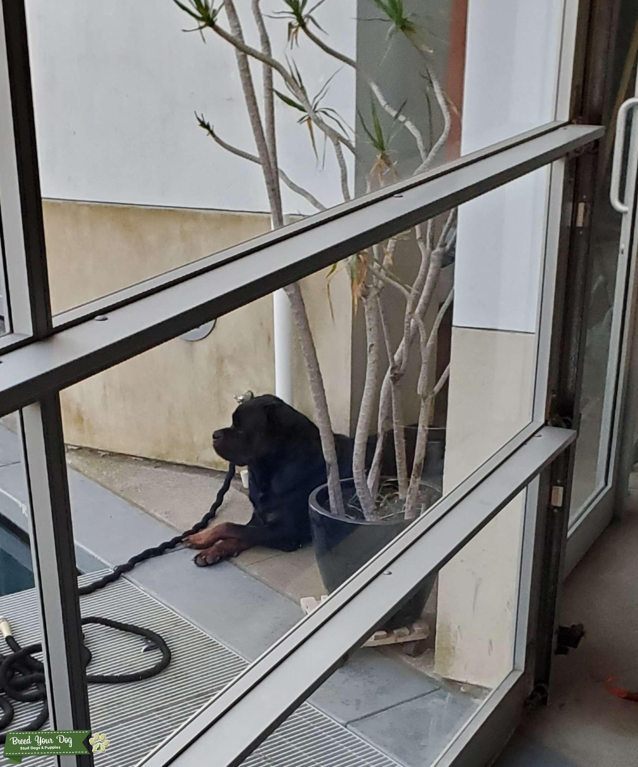 Champion bloodline AKC registered German Rottweiler Listing Image Big