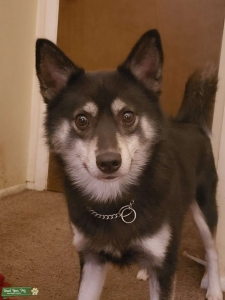 2.5-3yr old Black/Silver Pomsky with Brown eyes Listing Image