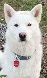 Pure white husky Listing Image