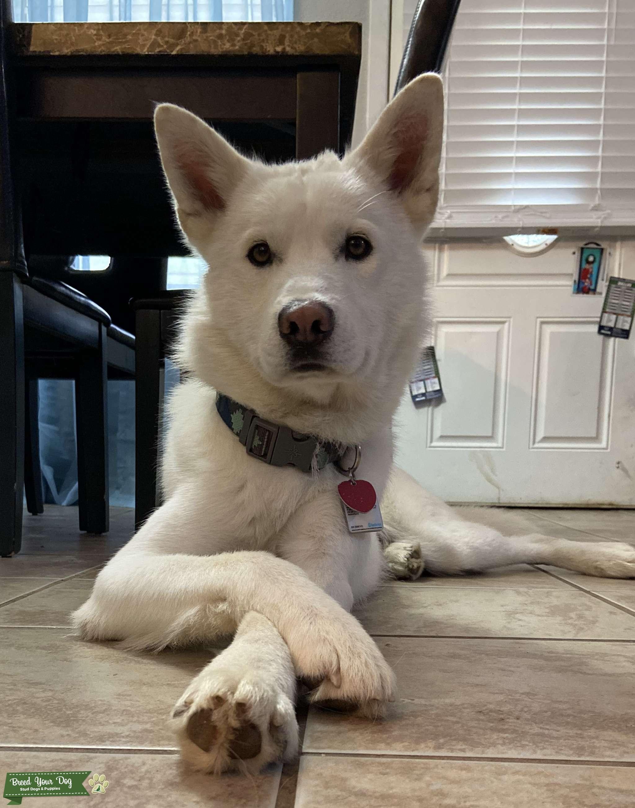 Pure white husky Listing Image Big