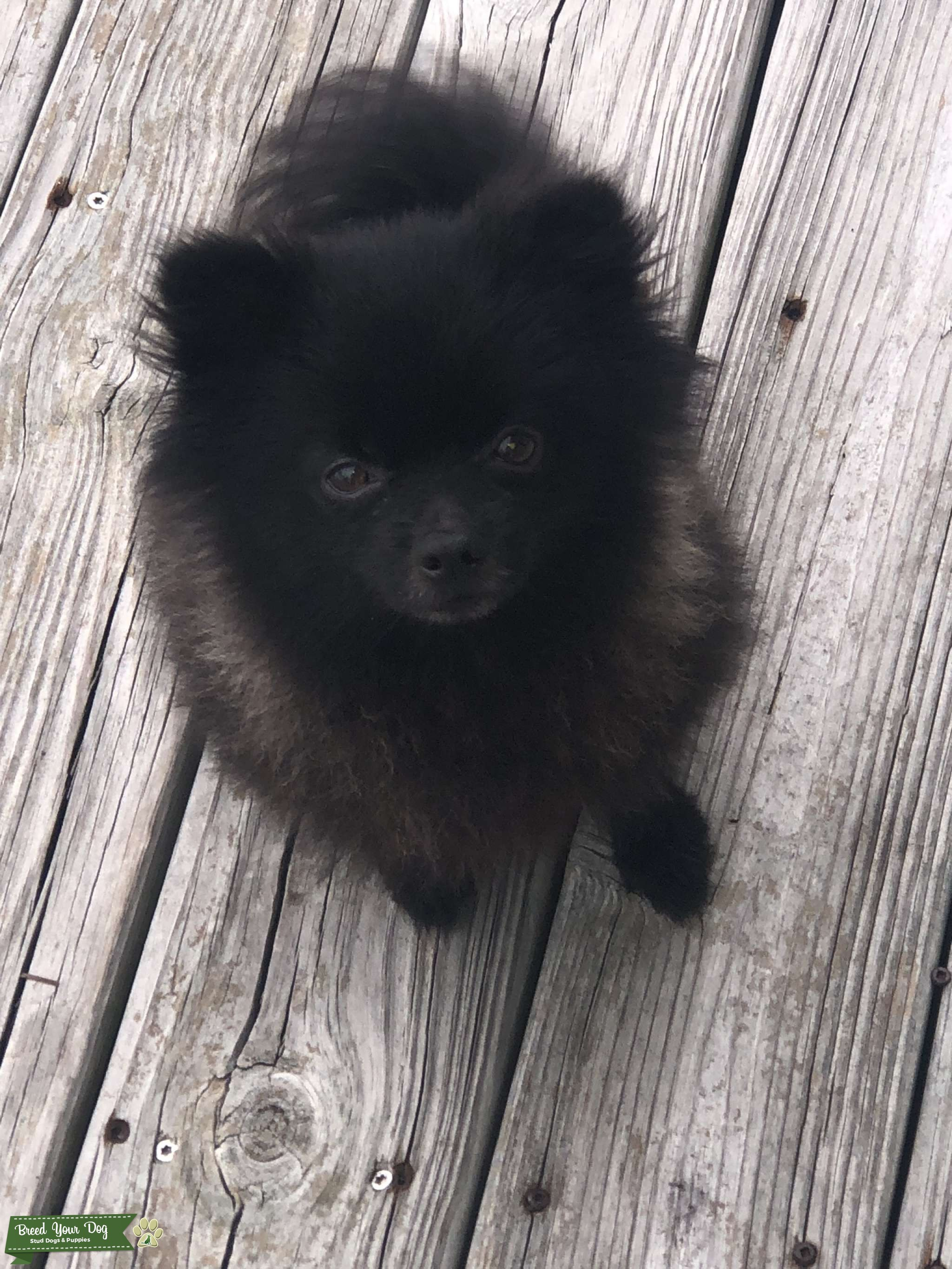 Breeding my MALE Pomeranian  Listing Image Big