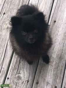 Breeding my MALE Pomeranian  Listing Image