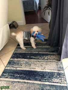 Miniature poodle Listing Image