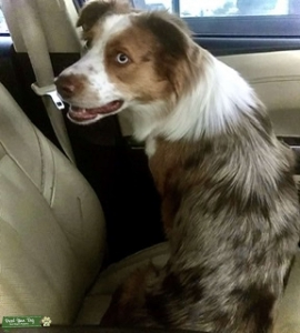 Looking for tricolor Mini Aussie male for stud service Listing Image Thumbnail