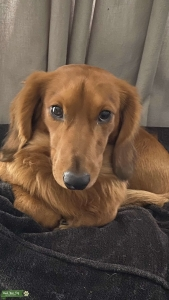 Male Dachshund In Miami  Listing Image