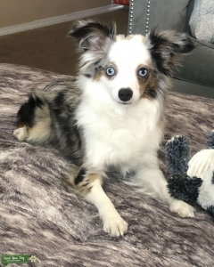 Stud services available (toy aussie) Listing Image