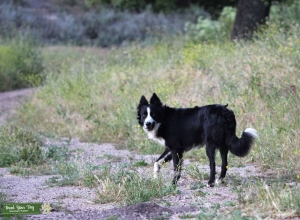 Working Border Collie Stud Listing Image