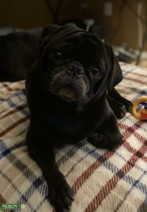 Male pug looking for female Listing Image