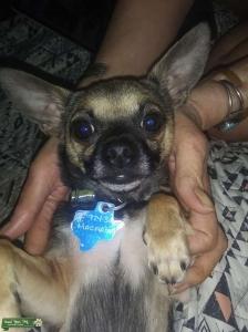 Brown Chihuahua Listing Image