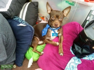 Chocolate Deer Head Chihuahua Listing Image