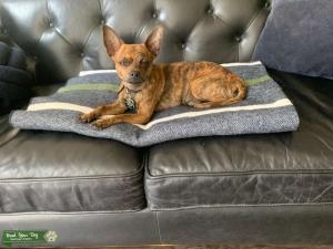 Brindle Chihuahua Listing Image