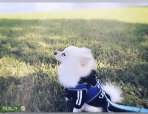 Pomeranian Stud looking for female Pom Listing Image