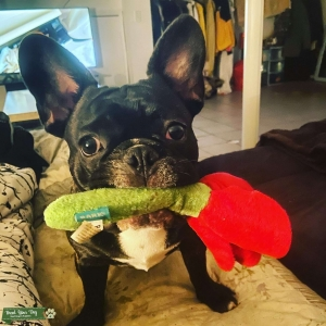 AKC registered Frenchie Listing Image