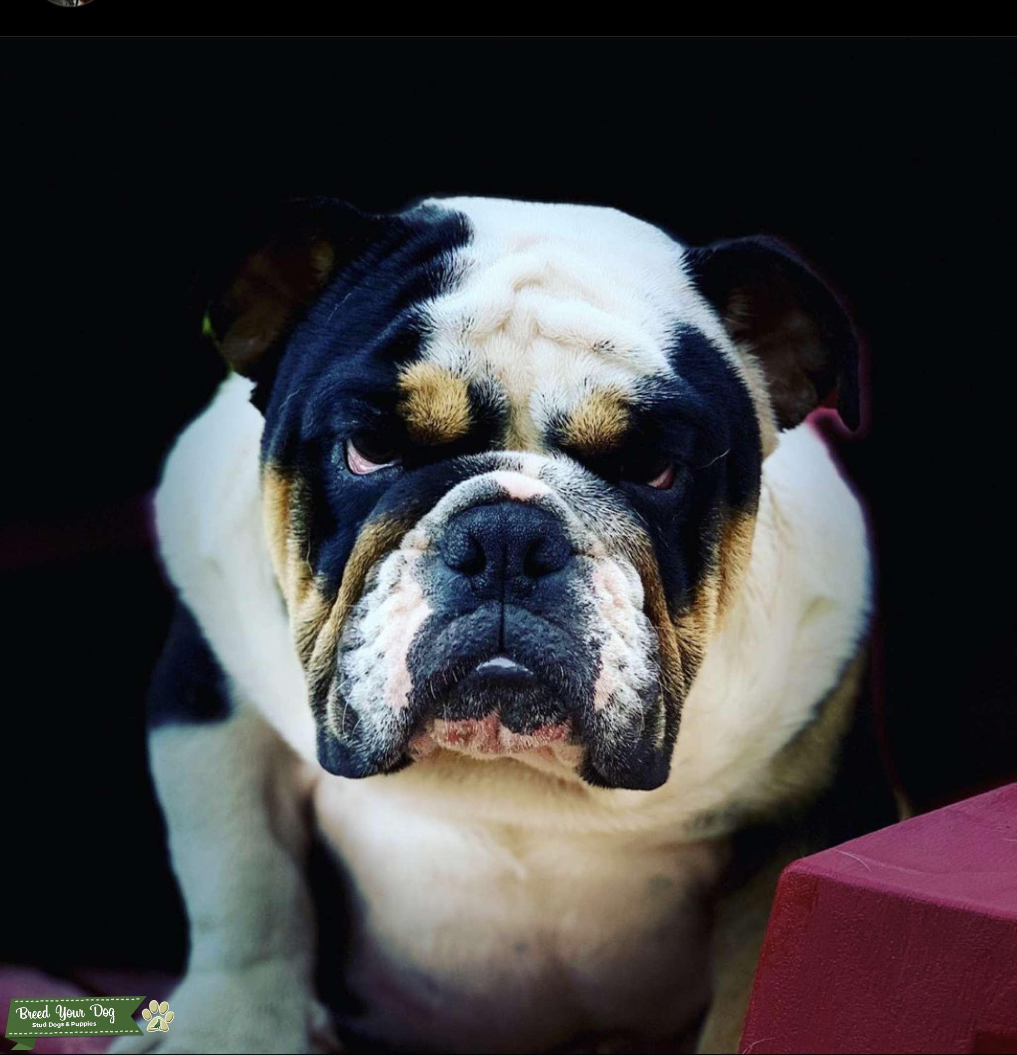 Tri Black English Bulldog Champion Listing Image Big