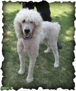Standard Poodle Proven Stud Service Listing Image