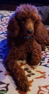 Red Standard Poodle Listing Image