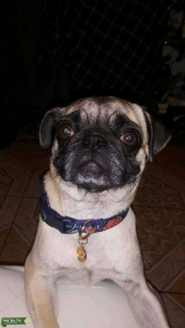 Cute pug Listing Image