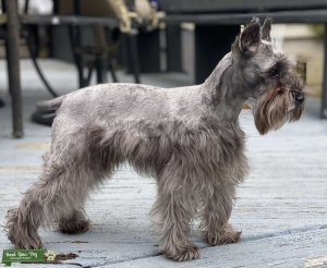 Toy Schnauzer Looking for a stud Listing Image