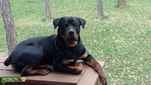German Rottweiler Stud Listing Image