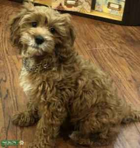 Male Cavapoo looking for love Listing Image