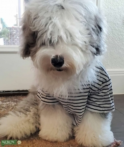 Mini sheepadoodle looking for love Listing Image