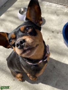 Female MinPin, very healthy Listing Image