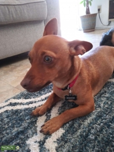 Red Chiweenie Listing Image