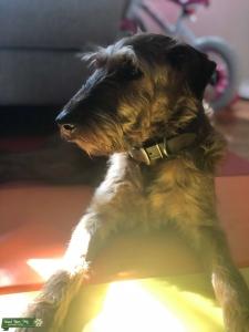 Irish Terrier  Listing Image
