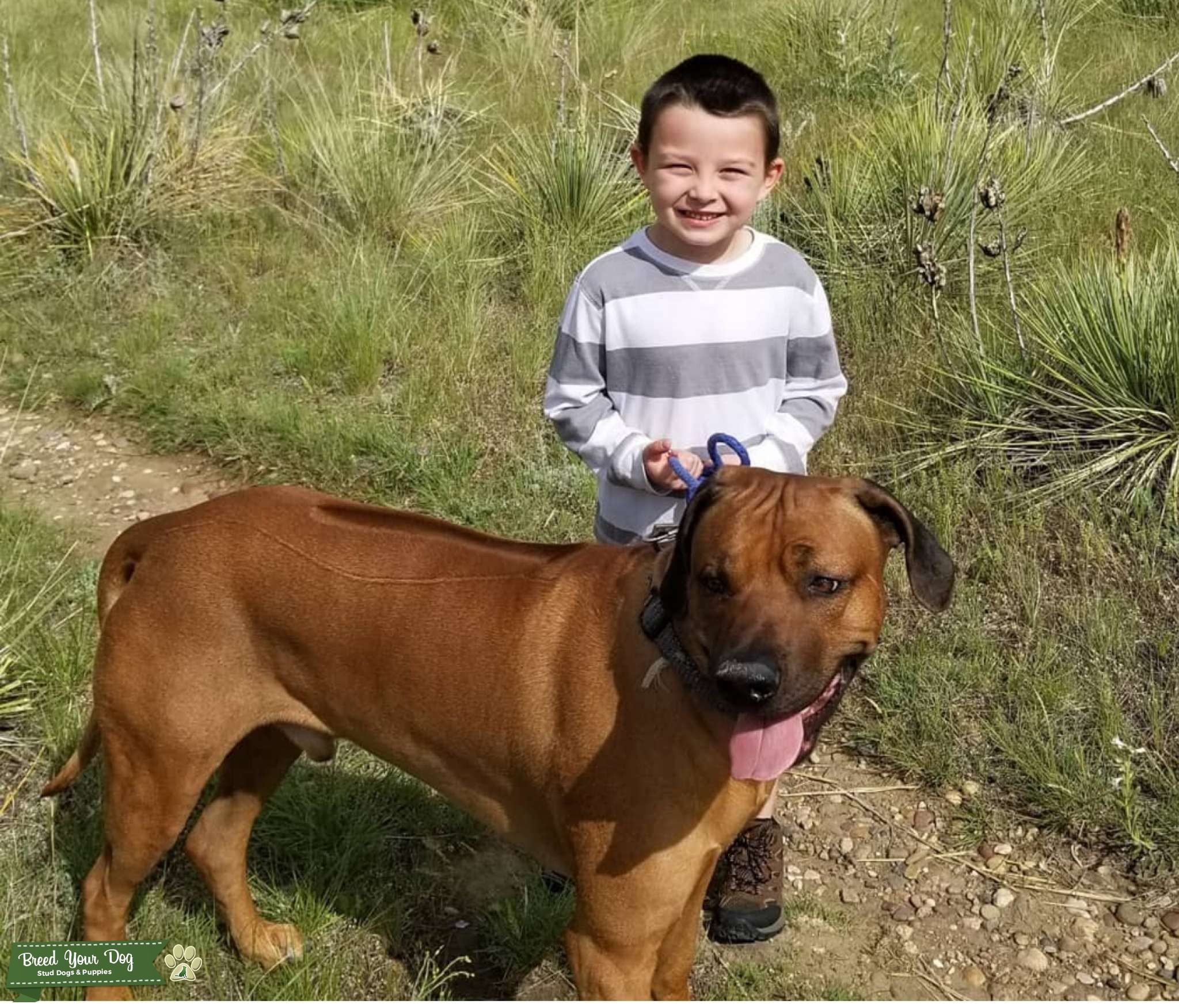 Looking to breed our male Ridgeback Listing Image Big