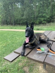 Sable colored malinois  Listing Image