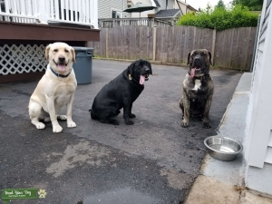Huge American Lab, Healthy and Active Listing Image