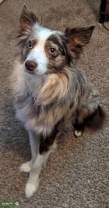 Miniature American Shepherd-Merle, Pure-breed Listing Image