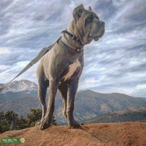Cane corso  Featured Image
