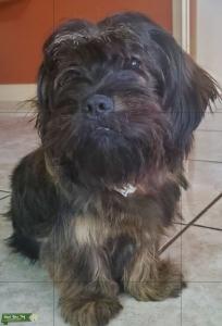 Dark brown Yorkshire Terrier Listing Image
