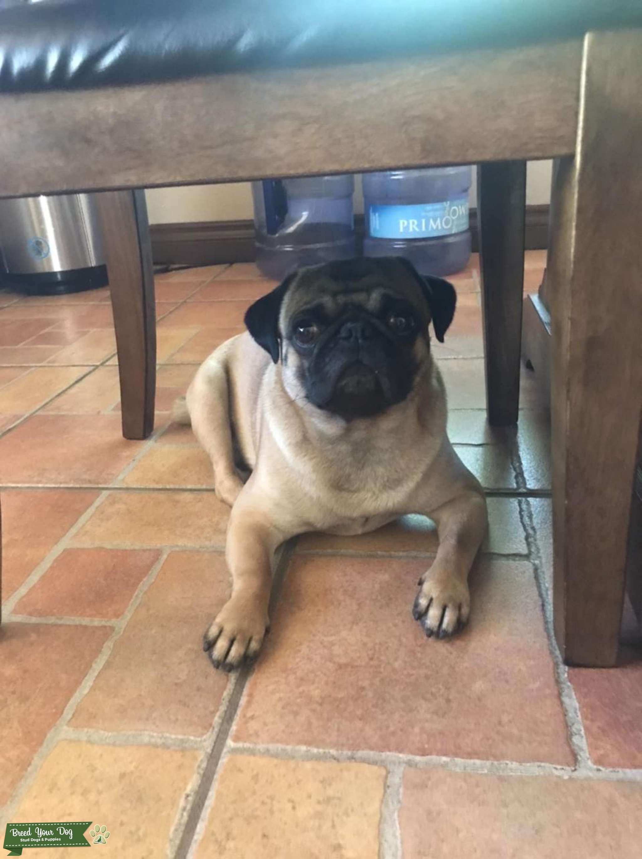 2 year old male pug Listing Image Big