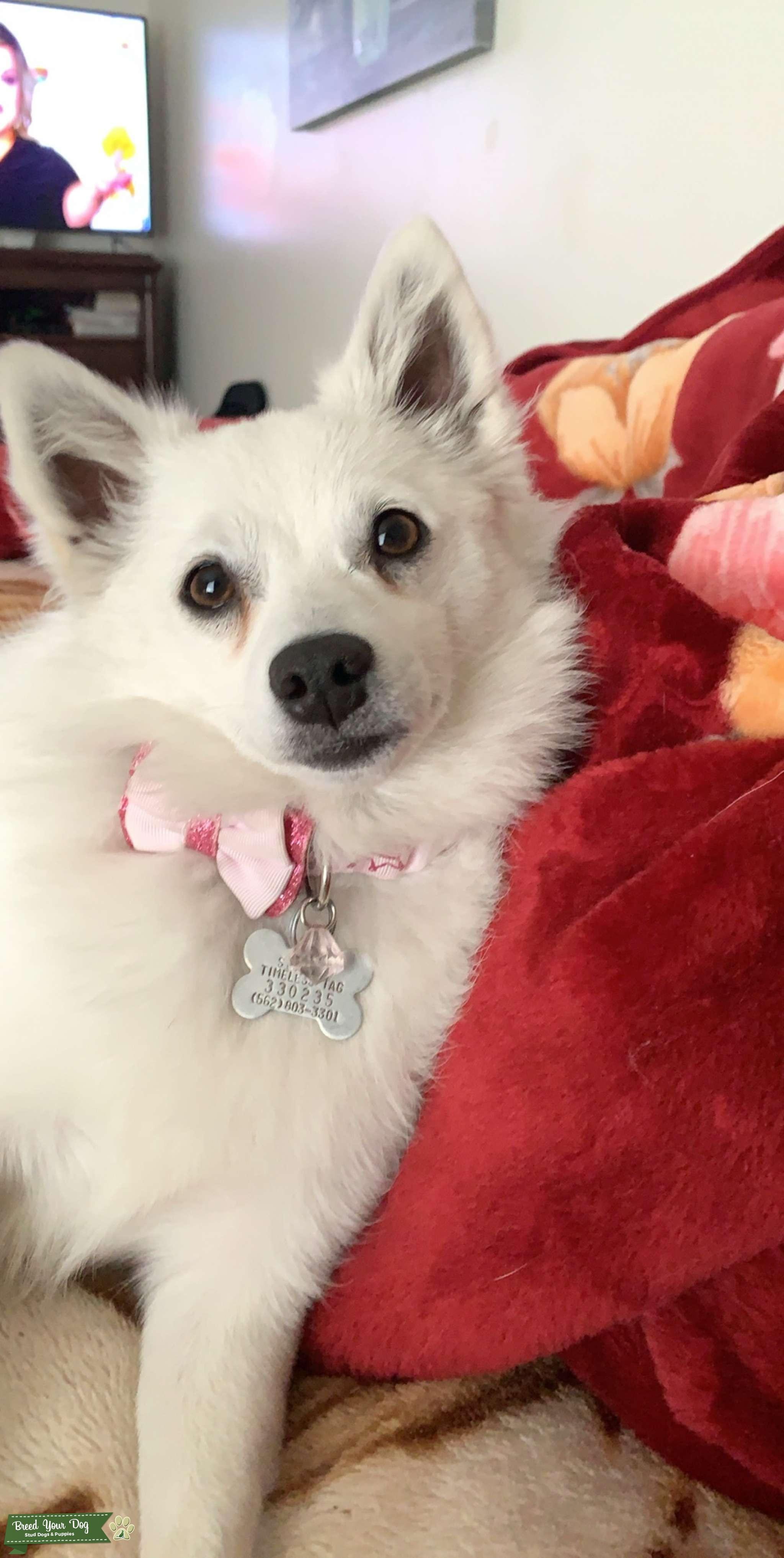 Mini American Eskimo pure breed  Listing Image Big