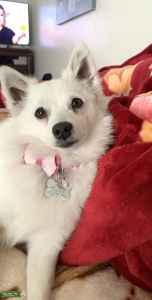 Mini American Eskimo pure breed  Listing Image