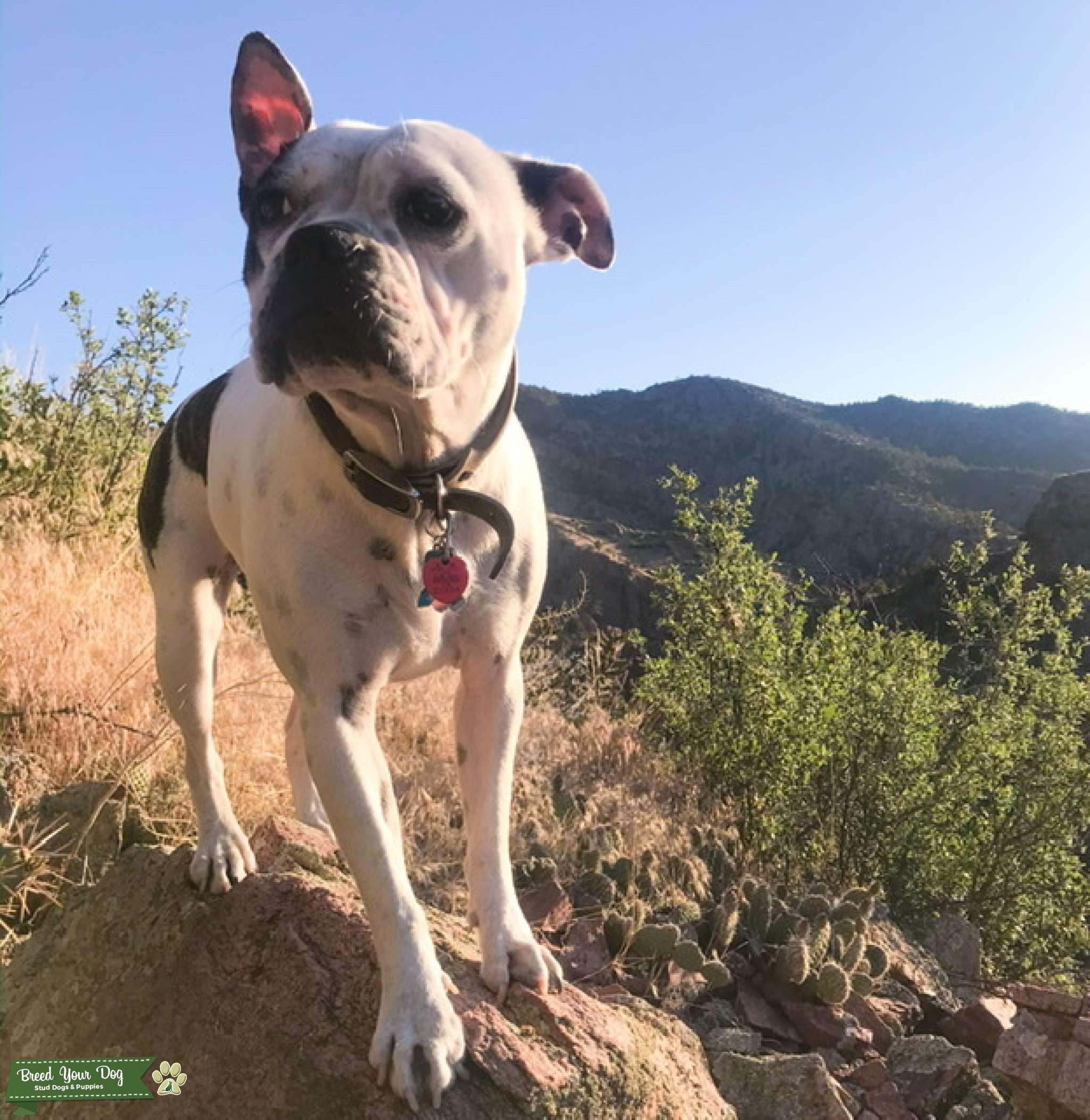 Boston Terrier and English Bulldog Mix Listing Image Big