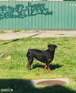 Female Rottweiler  Listing Image