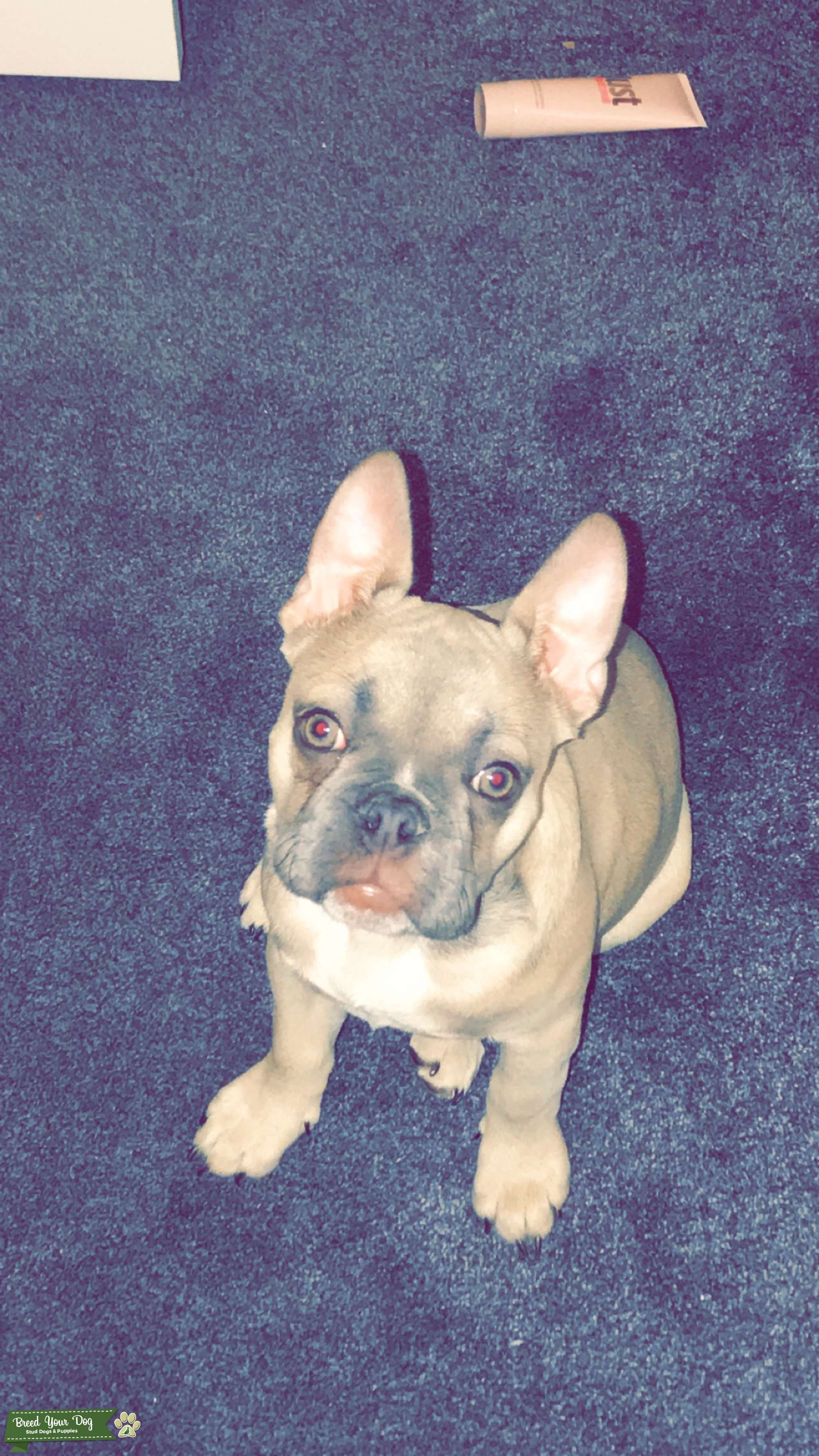 Beautiful looking french bulldog for stud!!  Listing Image Big