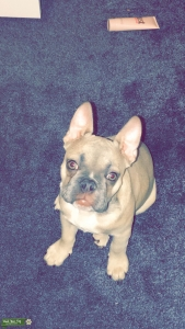 Beautiful looking french bulldog for stud!!  Listing Image Thumbnail
