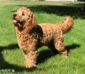 Mini Goldendoodle F1B - Looking for Mini Goldendoodle or Golden Retriever Bitch Listing Image
